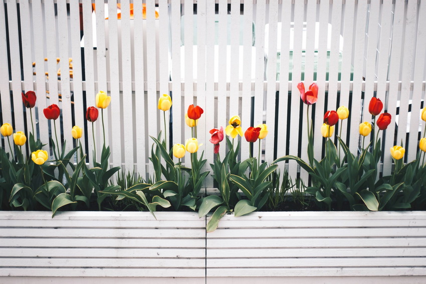 Tulips in the backyard garden design